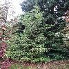 SequoiaSempervirens5.jpg 681 x 908 px 457.84 kB