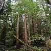 SequoiaSempervirens6.jpg 797 x 1200 px 585.94 kB