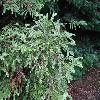 SequoiaSempervirens9.jpg 1024 x 768 px 257.68 kB
