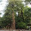 SequoiaSempervirens.jpg 797 x 1200 px 579.83 kB