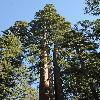 SequoiadendronGiganteum10.jpg 600 x 903 px 428.01 kB