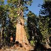SequoiadendronGiganteum11.jpg 600 x 903 px 416.58 kB