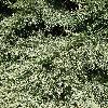 SequoiadendronGiganteum2.jpg 638 x 850 px 274.03 kB