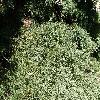 SequoiadendronGiganteum5.jpg 1127 x 845 px 362.37 kB