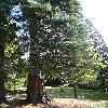 SequoiadendronGiganteum7.jpg 681 x 908 px 251.74 kB