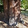 SequoiadendronGiganteum8.jpg 681 x 908 px 252.66 kB