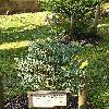 SequoiadendronGiganteumGlaucum.jpg 576 x 768 px 182.1 kB