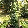 SequoiadendronGiganteumPendulum.jpg 576 x 768 px 177.2 kB
