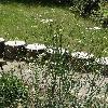 SeseliOsseum.jpg 681 x 908 px 452.08 kB