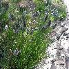 SesleriaHeufleriana.jpg 1127 x 845 px 244.04 kB