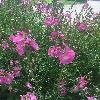 SidalceaMalviflora2.jpg 1200 x 800 px 569.88 kB