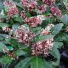 SkimmiaJaponicaRubella2.jpg 615 x 820 px 165.29 kB