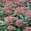 SkimmiaJaponicaRubella.jpg 615 x 820 px 168.22 kB