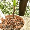 SocrateaExorrhiza2.jpg 615 x 820 px 150.66 kB