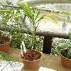 SocrateaExorrhiza.jpg 615 x 820 px 144.49 kB