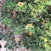 SolandraGrandiflora.jpg 675 x 900 px 334.06 kB