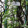 SolandraLongiflora.jpg 681 x 908 px 384.25 kB