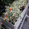 Solanum4.jpg 1127 x 845 px 222.24 kB