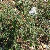 Solanum5.jpg 1127 x 845 px 355.73 kB