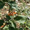 Solanum7.jpg 615 x 820 px 97.86 kB