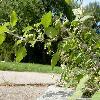 SolanumAmericanum.jpg 1200 x 900 px 212.17 kB