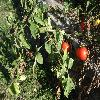 SolanumLycopersicum5.jpg 1024 x 768 px 231.34 kB