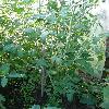 SolanumLycopersicum.jpg 638 x 850 px 165.04 kB