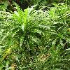 SonchusCanariensis.jpg 576 x 768 px 158.76 kB