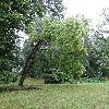 SophoraJaponica2.jpg 681 x 908 px 440.07 kB