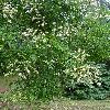 SophoraJaponica3.jpg 681 x 908 px 491.35 kB