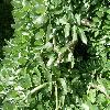 SophoraJaponicaPendula5.jpg 1127 x 845 px 232.96 kB