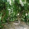 SophoraJaponicaPendula6.jpg 1127 x 845 px 289.14 kB