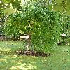 SophoraJaponicaPendula.jpg 576 x 768 px 148.04 kB