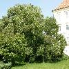 SophoraJaponica.jpg 1127 x 845 px 269.22 kB