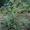 SorbariaAssurgens.jpg 1024 x 768 px 329.01 kB