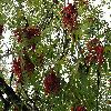 SorbusAucuparia2.jpg 1024 x 768 px 259.02 kB