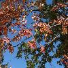 SorbusAucuparia4.jpg 1115 x 836 px 290.86 kB