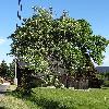 SorbusAucuparia5.jpg 720 x 960 px 467.51 kB