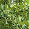 SorbusBohemica.jpg 1076 x 807 px 191.75 kB