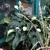 SpathiphyllumBlandum4.jpg 1024 x 768 px 198.62 kB