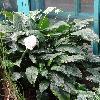 SpathiphyllumBlandum.jpg 720 x 960 px 386.64 kB