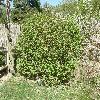SpiraeaChamaedryfolia.jpg 1127 x 845 px 382.4 kB