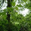 StaphyleaBumalda2.jpg 1167 x 875 px 227.47 kB
