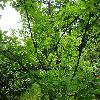 StaphyleaBumalda.jpg 1167 x 875 px 364.15 kB