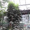 StenocarpusSinuatus3.jpg 681 x 908 px 363.76 kB