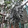 StenocarpusSinuatus.jpg 1141 x 856 px 269.57 kB