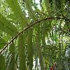 StenochlaenaTenuifolia3.jpg 1024 x 768 px 186.13 kB
