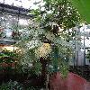 StenochlaenaTenuifolia.jpg 720 x 960 px 405.79 kB