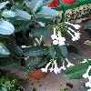 StephanotisFloribunda.jpg 576 x 768 px 102.77 kB