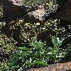 SteptorhamphusCrassicaulis.jpg 600 x 903 px 316.55 kB